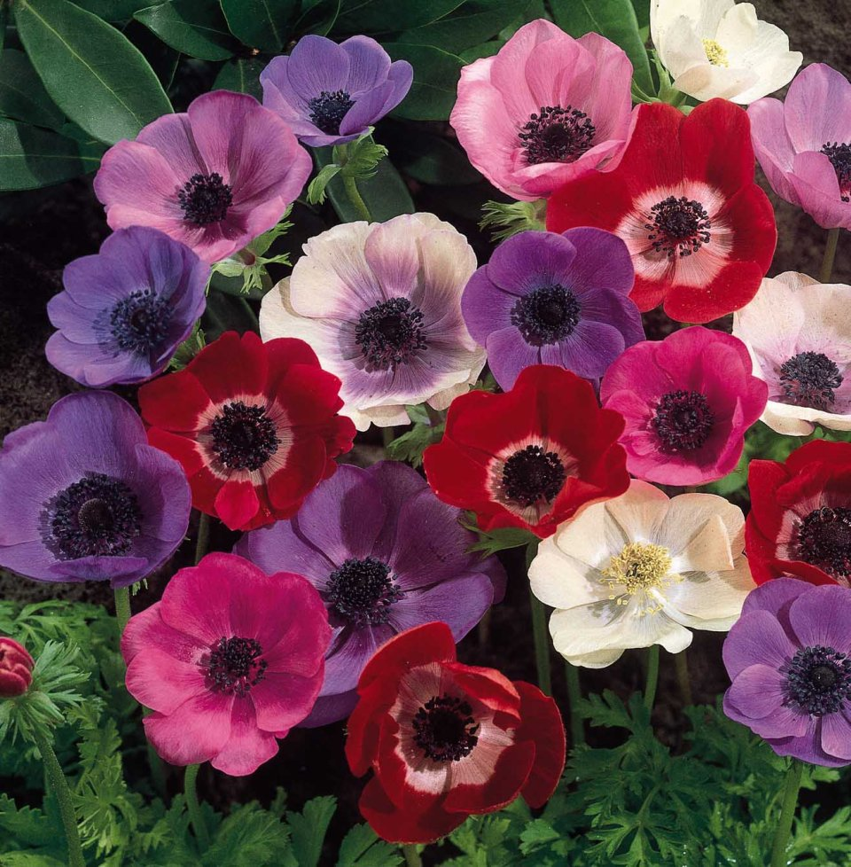 Anemone colours