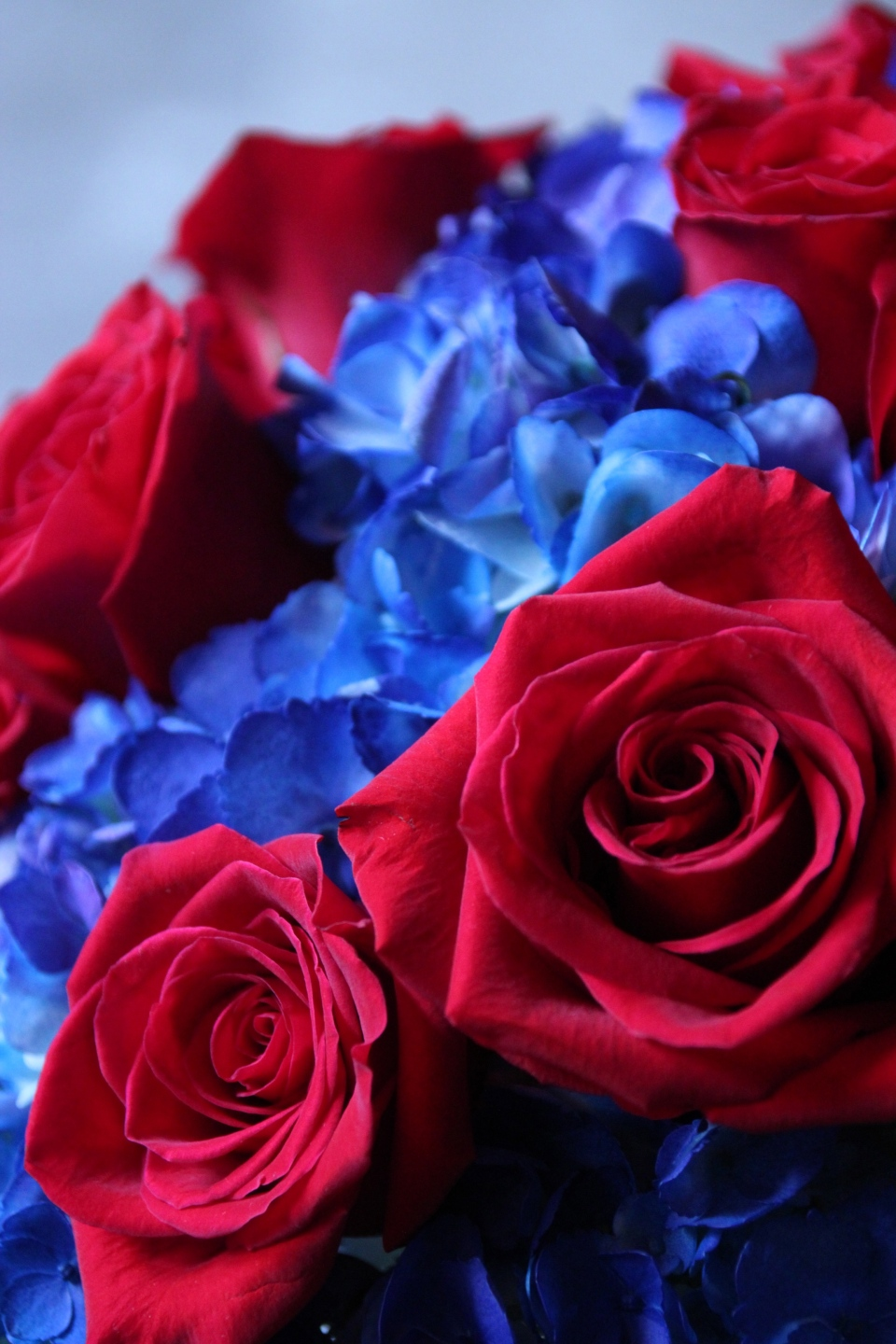 Deep red roses with blue hydrangea